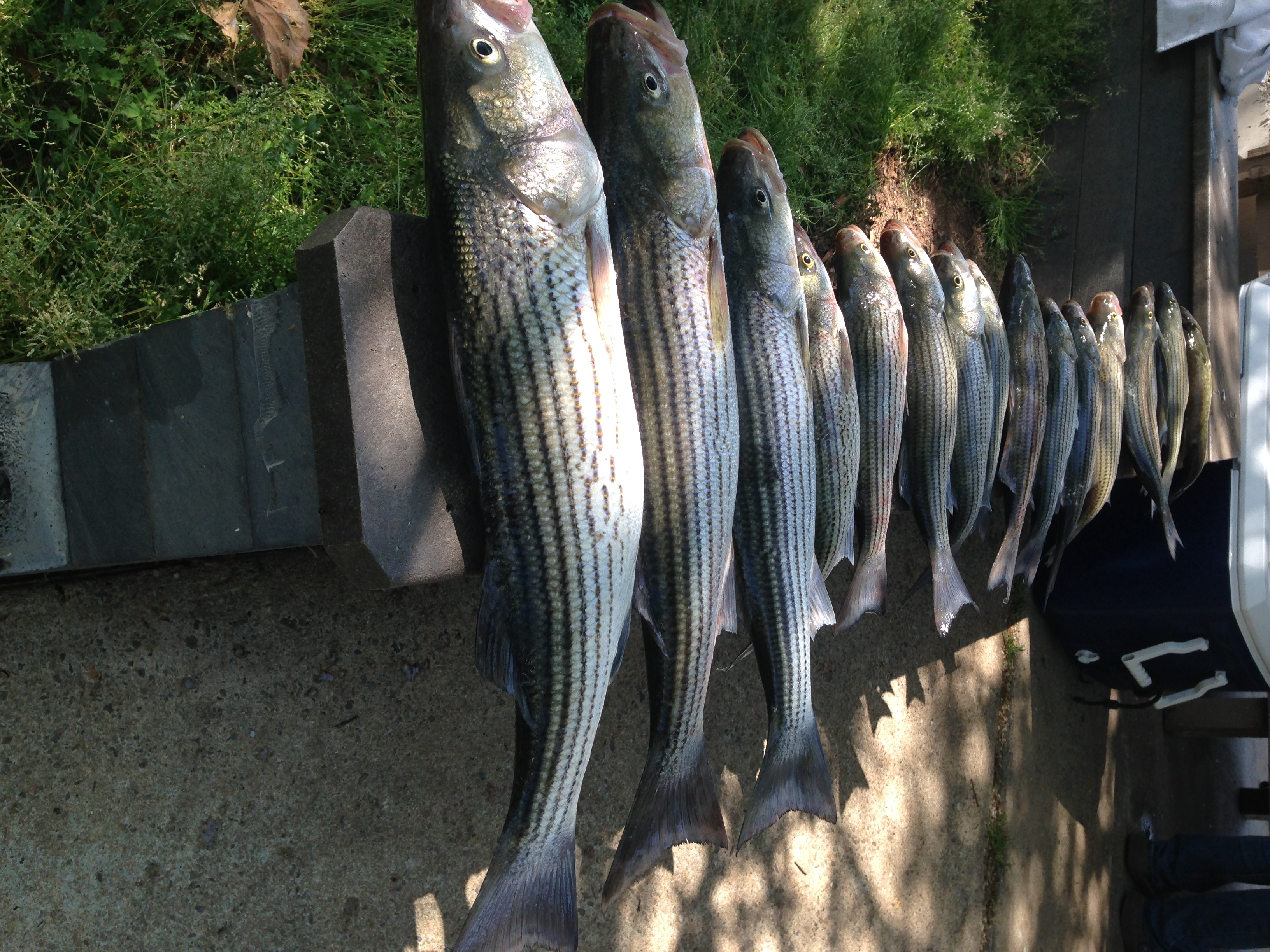 April 14, 2017 big stripers